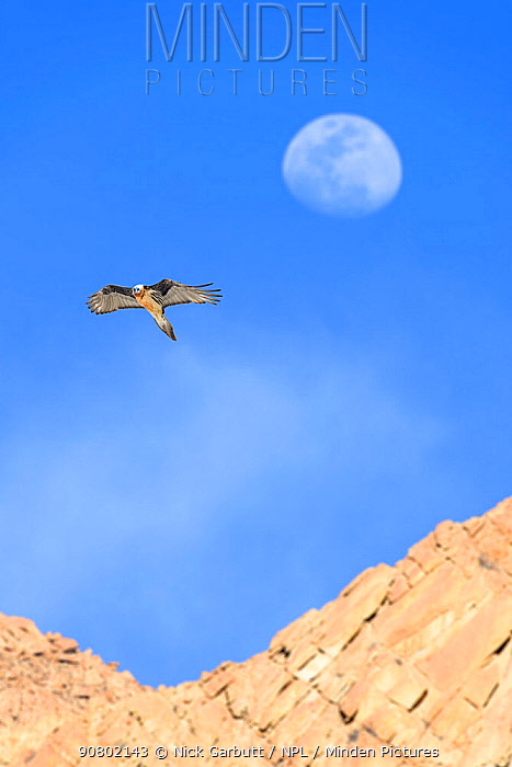 Lammergeier / Bearded vulture (Gypaetus barbatus) in flight with the out-of-focus moon behind. Ladakh, Himalayas, northern India.