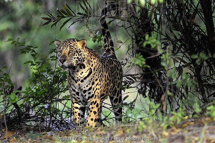 Jaguar (Panthera onca) male spray / scent marking vegetation on the river bank. Cuiaba River, Northern Pantanal, Mato Grosso, Brazil.