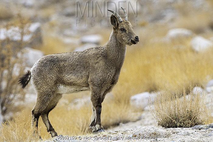 Himalayan ibex (Capra sibirica) female, Himalayas, Ladakh, northern India.