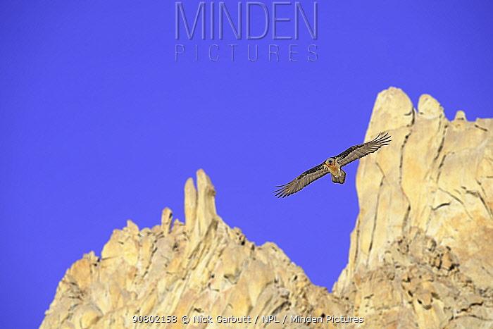 Lammergeier (Gypaetus barbatus) in flight. Ladakh, Himalayas, northern India.