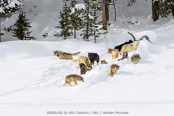 Pack of wolves (Canis lupus). Yellowstone National Park, Wyoming, USA. January.