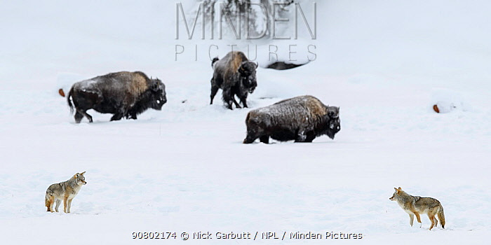Coyotes (Canis latrans) and Bison (Bison bison) in deep snow. Madison River Valley, Yellowstone National Park, Wyoming, USA.
