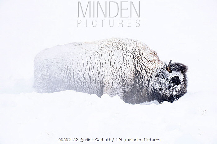 American bison (Bison bison) male moving deep snow and grazing. Hayden Valley. Yellowstone National Park, Wyoming, USA. January
