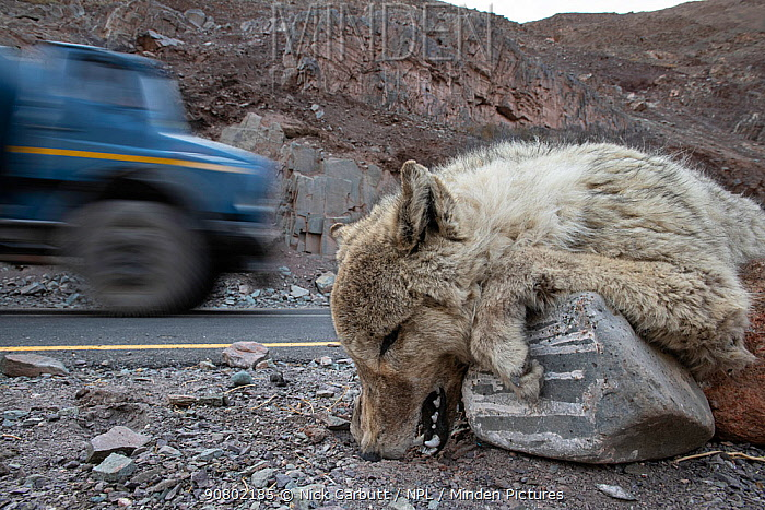 Corpse of a Himalayan wolf (Canis lupus), killed on a road outside Leh. Himalayas, Ladakh, northern India.