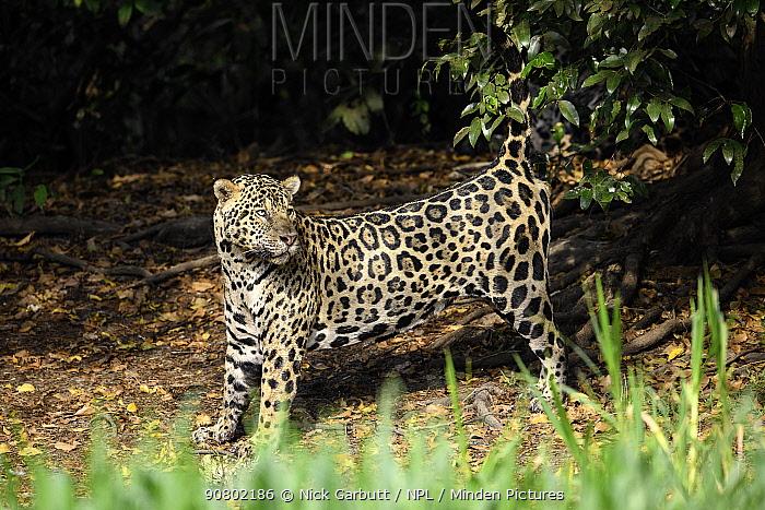 Jaguar (Panthera onca) male spraying, scent marking vegetation on the river bank. Cuiaba River, Northern Pantanal, Mato Grosso, Brazil.
