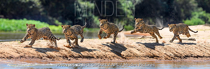 Jaguar (Panthera onca) male running along a sand spit chasing after a caiman. Northern Pantanal Cuiaba River, Mato Grosso, Brazil. Composite image of five frames.