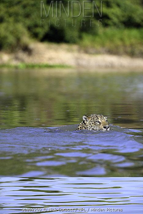 Jaguar (Panthera onca) female swimming across the Paraguay River. Near Taiama Reserve, Western Pantanal, Mato Grosso, Brazil.