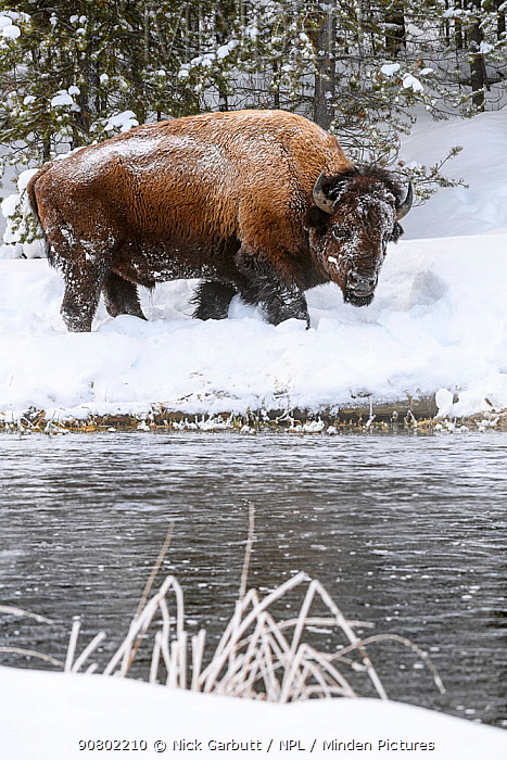 American bison (Bison bison) grazing by the Firehole River. Yellowstone National Park, Wyoming, USA. January
