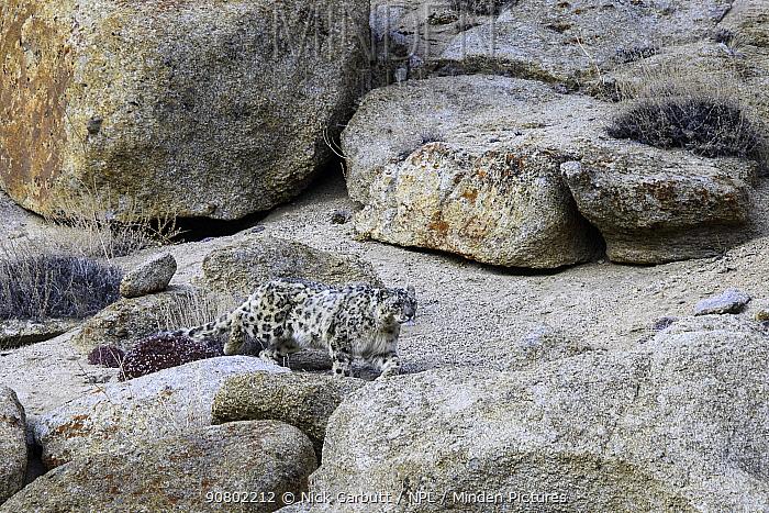 Snow leopard (Panthera uncia) female stalking over broken rocky terrain. Ladakh Range, Western Himalayas, Ladakh, India.