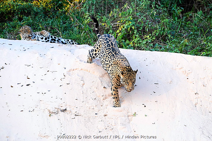 Jaguars (Panthera onca) courting pair on a sand bank. Cuiaba River, Northern Pantanal, Mato Grosso, Brazil.