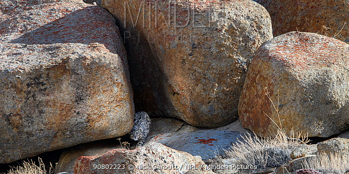 Wild Snow leopard (Panthera uncia) sitting at the entrance to a shady rocky cave where it had been resting. Ladakh Range, Western Himalayas, Ladakh, India.