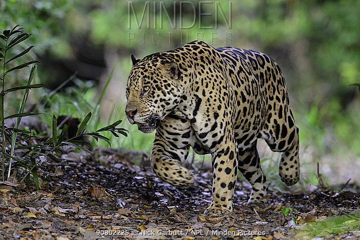 Jaguar (Panthera onca) male on river bank. Cuiaba River, Northern Pantanal, Mato Grosso, Brazil.