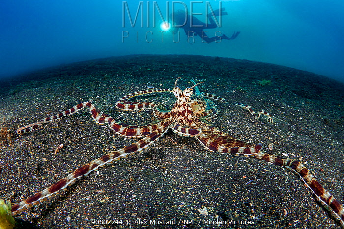 Mimic octopus (Thaumoctopus mimicus) on a sandy seabed with diver Bitung, North Sulawesi, Indonesia. Lembeh Strait, Molucca Sea. Model Released