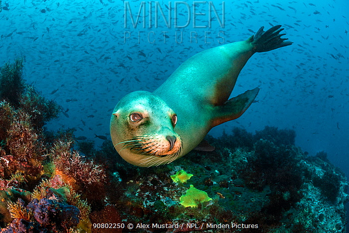 Portrait of a female Galapagos sea lion (Zalophus wollebaeki) on a reef with Pacific creolefish behind. Punta Vincente Roca, Isabela Island, Galapagos National Park, Galapagos Islands. East Pacific Ocean.