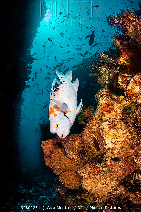 Harlequin hogfish (Bodianus eclancheri) swims on a reef. Punta Vincente Roca, Isabela Island, Galapagos National Park, Galapagos Islands. East Pacific Ocean.