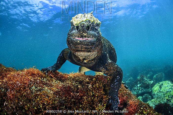 Marine iguana (Amblyrhynchus cristatus) portrait underwater. Cape Douglas, Fernandina Island, Galapagos National Park, Galapagos Islands. East Pacific Ocean.