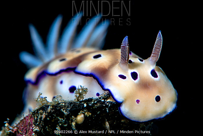 Portrait of a nudibranch (Hypselodoris tryoni). Bitung, North Sulawesi, Indonesia. Lembeh Strait, Molucca Sea.