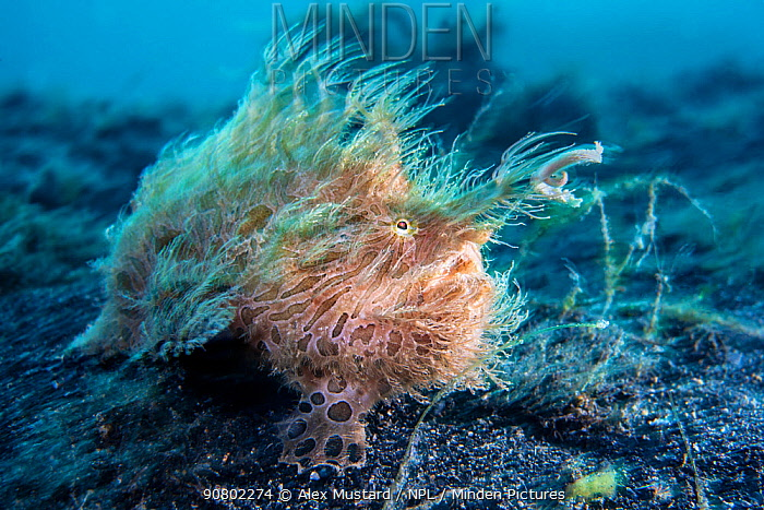 Hairy frogfish (Antennarius striatus) in a current. Bitung, North Sulawesi, Indonesia. Lembeh Strait, Molucca Sea.