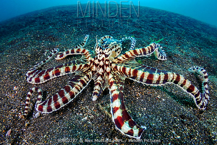 Mimic octopus (Thaumoctopus mimicus) on a sandy seabed. Bitung, North Sulawesi, Indonesia. Lembeh Strait, Molucca Sea.