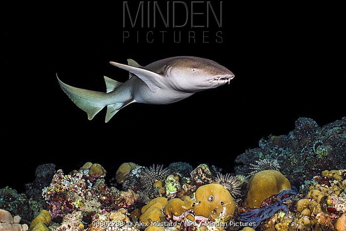 Tawny nurse shark (Nebris ferrungineus) patrols a coral reef at night. Vavuu Atoll, Maldives. Indian Ocean