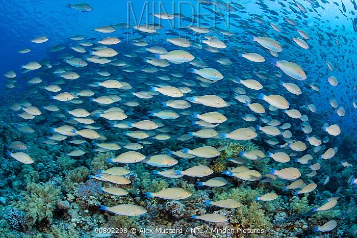 School of longnose parrortfish (Hipposcarus harid) swims over a coral reef. Ras Mohammed Marine Park, Sinai, Egypt. Red Sea.