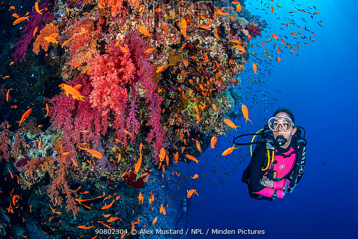 Diver exploring a colourful coral reef with soft corals (Dendronephthya sp.) and Scalefin anthias ( Pseudanthias squamipinnis). Ras Za'atar, Ras Mohammed National Park, Sinai, Egypt. Red Sea