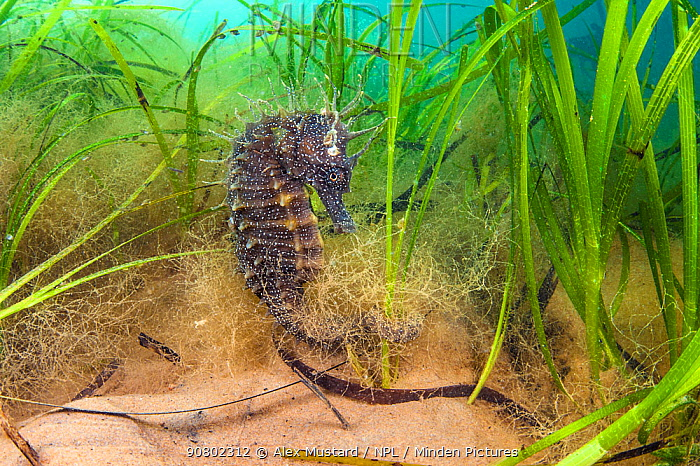 Spiny seahorse (Hippocampus guttulatus) female in a meadow of seagrass. (Zostera marina) Studland Bay, Dorset, England, UK. English Channel.