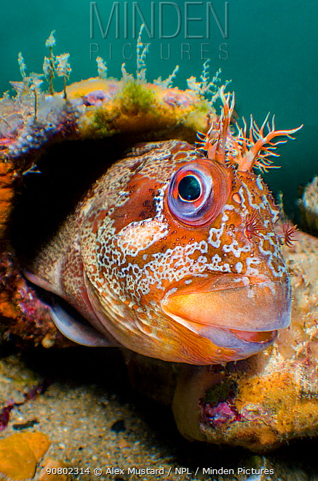 A wide angle view of a male Tompot blenny (Parablennius gattorugine) peering out of its den, in a leg of Swanage Pier. Swanage, Dorset, England, United Kingdom. English Channel. North East Atlantic Ocean.