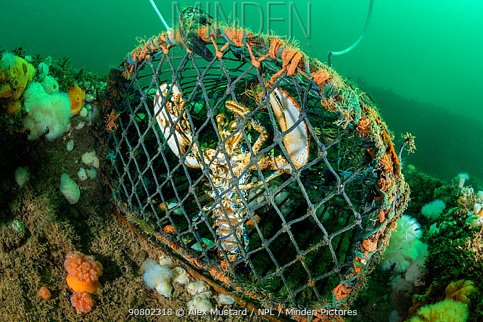 Lobster (Homarus gammarus) caught in a lobster pot / creel on the Wreck of the Rosalie, Weybourne, north Norfolk, England, United Kingdom. North Sea.