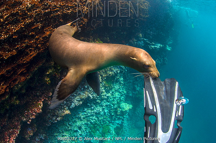 Galapagos sea lion (Zalophus wollebaeki) playing with the fin of snorkeller, Espagnola Island, Galapagos National Park, Galapagos Islands. East Pacific Ocean. Model Released.