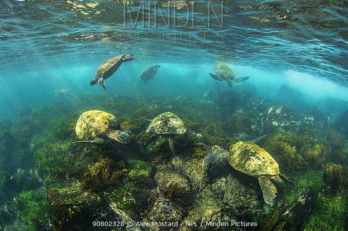 Group of Galapagos green turtles (Chelonia mydas agassizii) feeding on algae in shallow water. Floreana Island, Galapagos National Park, Galapagos Islands. East Pacific Ocean