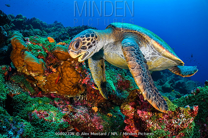 Galapagos green turtle (Chelonia mydas agassizii) swims over a coral reef. Darwin Island, Galapagos National Park, Galapagos Islands. East Pacific Ocean.