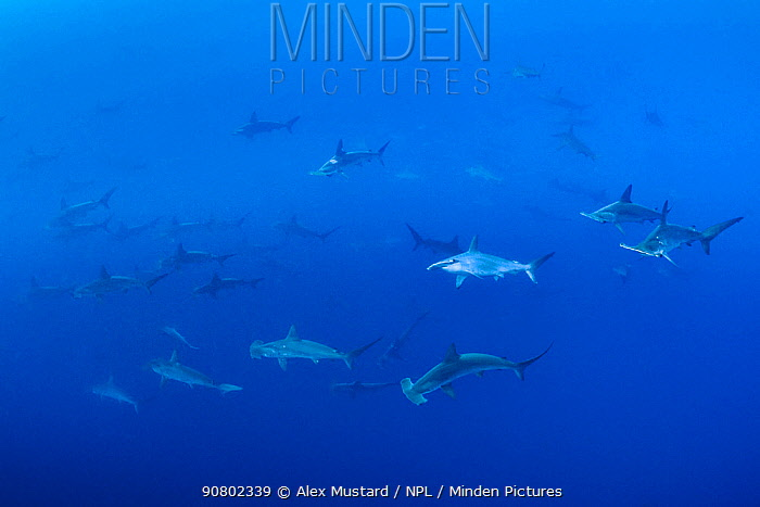 Large school of Scalloped hammerhead sharks (Sphyrna lewini) in open water. Wolf Island, Galapagos National Park, Galapagos Islands. East Pacific Ocean.