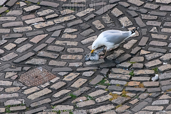 European herring gull (Larus argentatus) scavenging dead kittiwake (Rissa tridactyla) chick on the road. Newcastle, UK. July