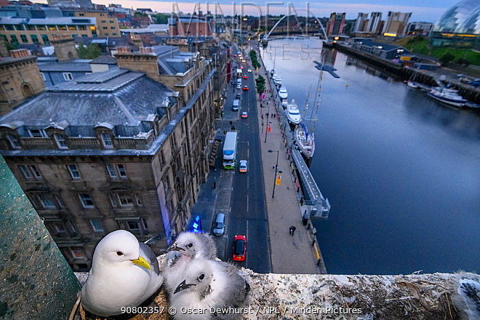 Black-legged kittiwake (Rissa tridactyla) adult and chicks at their nest on a ledge of the Tyne Bridge, overlooking Newcastle and the Tyne. Newcastle, UK. July