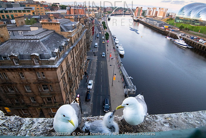 Black-legged kittiwake (Rissa tridactyla) adult pair and juvenile on the Tyne Bridge, Newcastle, UK. July.