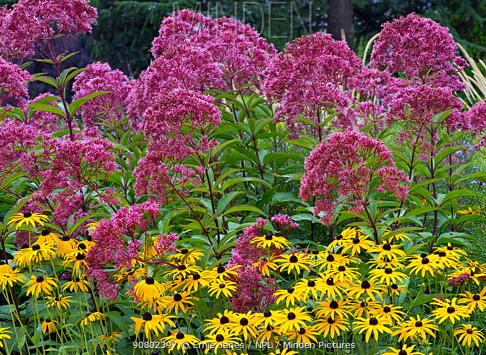 Joe Pyes weed (Eupatorium maculatum) and Rudbeckia 'Gold sturm' in garden border