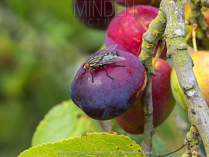 Flesh fly (Sarcophaga sp) feeding on ripe plums.