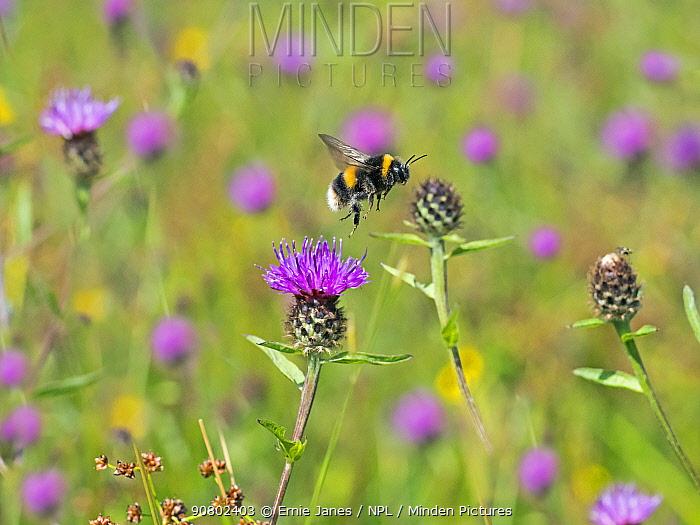 Garden bumblebee (Bombus hortorum) taking off from Knapweed, England, UK, August.