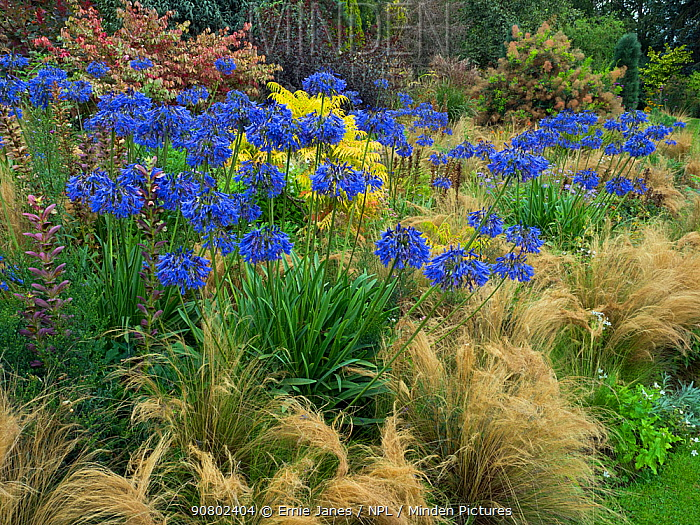 Blue agapanthus'Loch hope,and grasses in woodland garden
