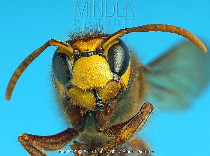 Hornet (Vespa crabro) close up of head.