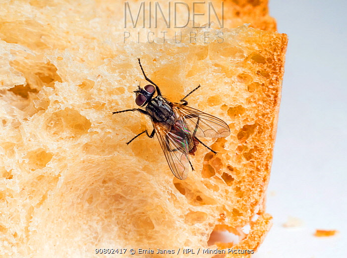 Housefly (Musca domestica) with parasites feeding on bread.