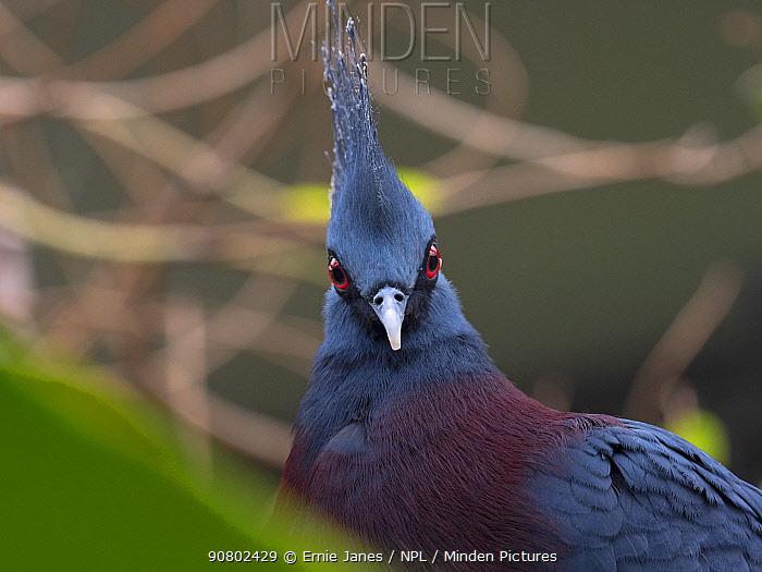 Victoria crowned pigeon (Goura victoria) portrait, captive.