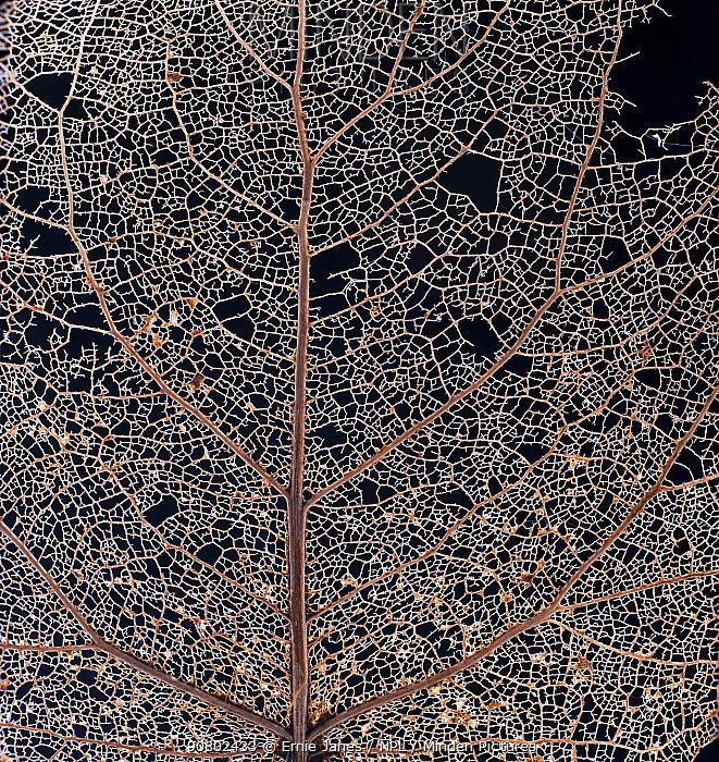 Black poplar (Populus nigra) leaf skeleton macro closeup