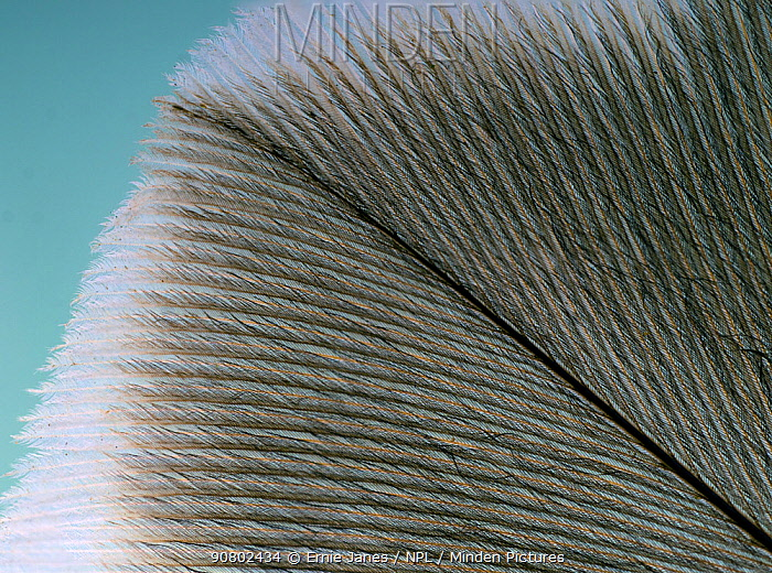 Buzzard (Buteo buteo) secondary wing feather close up.