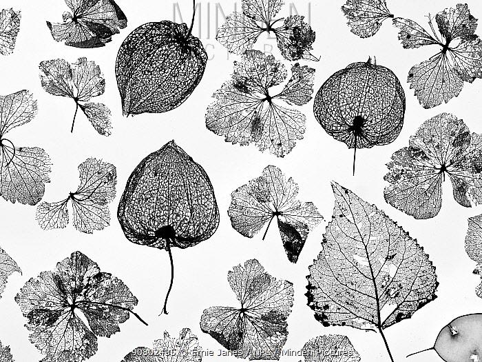Chinese Lanterns (Physalis alkekengi), Hydrangea flowers, Poplar leaves (Populus) and Honesty skeletons (Lunaria annua), silhouettes on white background.