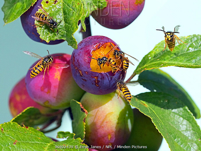 Common wasp (Vespula vulgaris) feeding on ripe plums, England, UK, August.