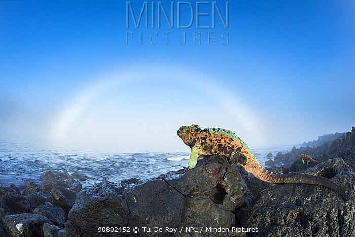 Marine iguana (Amblyrhynchus cristatus) males in breeding colouration on rocks, with sun halo, Floreana Island, Galapagos