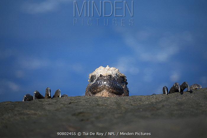 Marine iguana (Amblyrhynchus cristatus) peering over rocks, Punta Espinosa, Fernandina Island, Galapagos