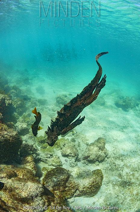 Marine iguana (Amblyrhynchus cristatus) swimming underwater, Sullivan Bay, Santiago Island, Galapagos